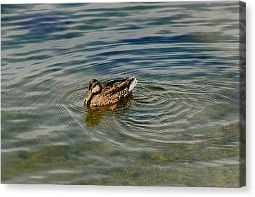 Lone Duck Swimming On A River Canvas Print by Todd Gipstein