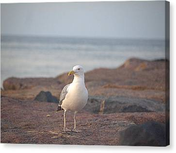 Canvas Print featuring the photograph Lone Gull by  Newwwman