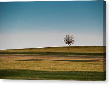 Lone Hawthorn Tree II Canvas Print