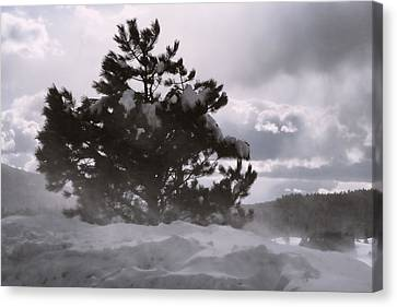Lone Pine Canvas Print by Becky Titus