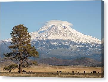 Lone Tree And Mount Shasta Canvas Print by Loree Johnson