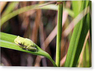 Lone Tree Frog Canvas Print