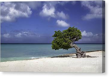 Wind Blown Tree Canvas Print - Lone Tree In Aruba by Brian Jannsen