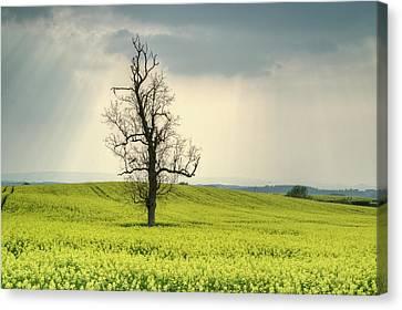 Lone Tree In Rape Field 2 Canvas Print by Douglas Barnett
