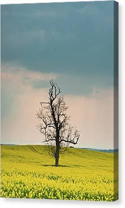 Lone Tree In Rape Field 3 Canvas Print by Douglas Barnett