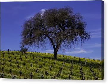 Lone Tree In Vineyard Canvas Print