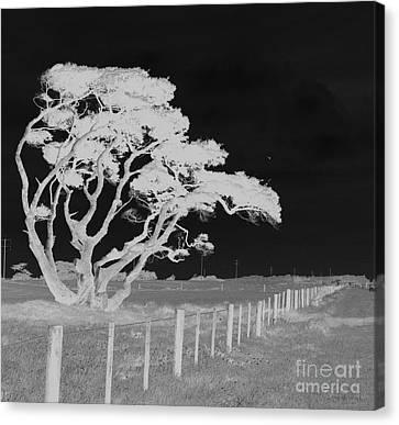 Lone Tree, West Coast Canvas Print
