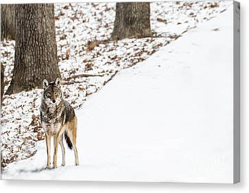 Lone Winter Coyote Canvas Print by Andrea Silies