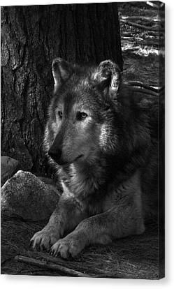 Lone Wolf Canvas Print by Karol Livote