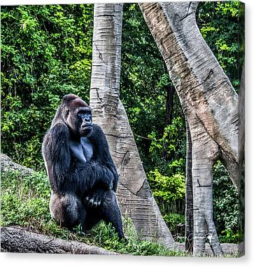 Canvas Print featuring the photograph Lonely Gorilla by Joann Copeland-Paul