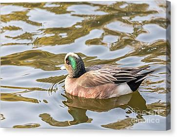 Lonely Wigeon Canvas Print by Kate Brown
