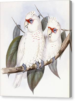 Long-billed Cockatoo Canvas Print by John Gould