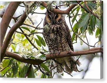 Long-eared Owl Canvas Print by David Gn