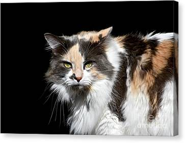 Long Haired Calico Cat Portrait Canvas Print
