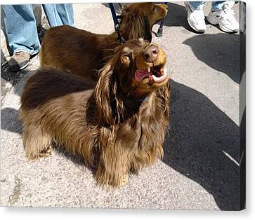 Long Haired Dachshund Making A Face Canvas Print