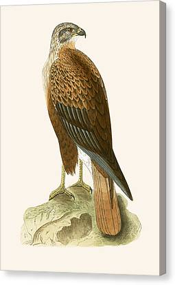 Long Legged Buzzard Canvas Print by English School