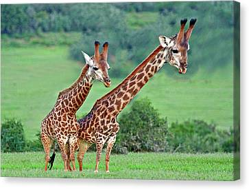 Long Necks Together Canvas Print by Bruce Iorio