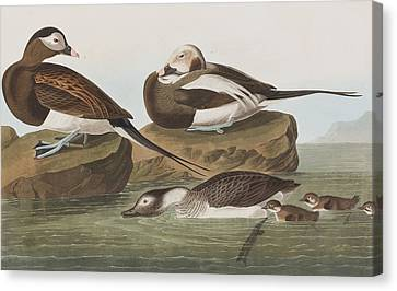 Long Tailed Duck Canvas Print