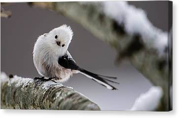 Canvas Print featuring the photograph Long-tailed Look by Torbjorn Swenelius