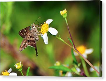 Long-tailed Skipper Butterfly Canvas Print by Rich Leighton