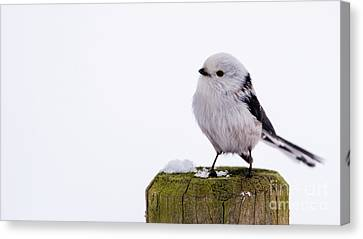 Long-tailed Tit On The Pole Canvas Print by Torbjorn Swenelius