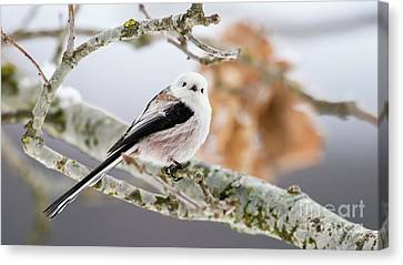 Canvas Print featuring the photograph Long-tailed Tit by Torbjorn Swenelius