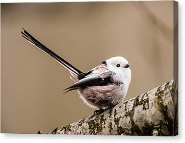 Long-tailed Tit Wag The Tail Canvas Print by Torbjorn Swenelius