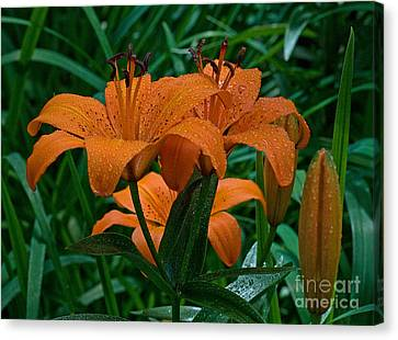 Day Lilly Canvas Print - Long Valley Lily by Robert Pilkington