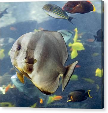 Longfin Batfish Canvas Print