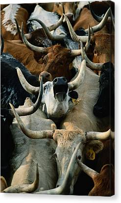 Longhorn Cattle Are Packed Canvas Print by Joel Sartore