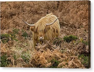 Longhorn On Dartmoor Canvas Print