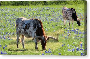 Longhorns In The Bluebonnets Canvas Print by Janette Boyd
