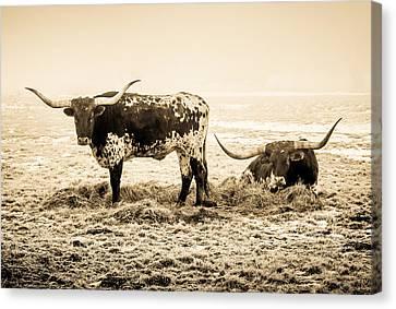 Longhorns Canvas Print by TL  Mair