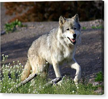 Lonly Wolf Canvas Print by Marty Koch