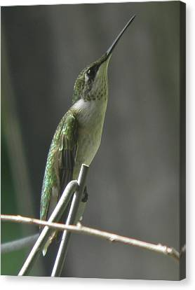 Looking To The Heavens Canvas Print - Look To The Heavens Young Male Ruby-throated Hummingbird by Earl Williams Jr