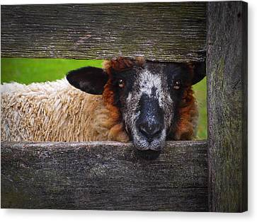 Lookin At Ewe Canvas Print by Skip Hunt