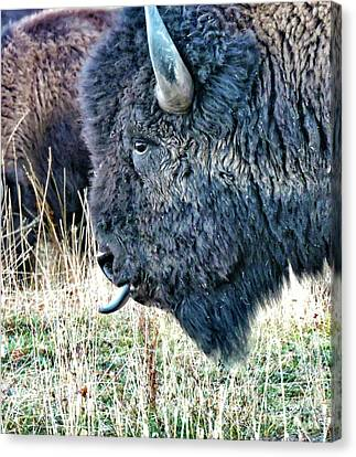 Bison Heard Canvas Print - Lookin At You by Norma Brandsberg