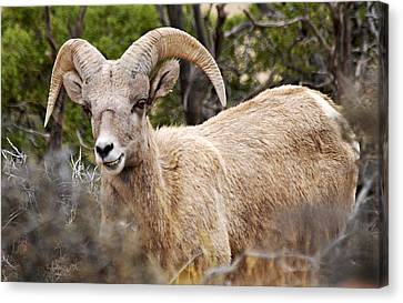 Bighorn Canyon National Recreation Area Canvas Print - Looking At You Kid by Larry Ricker
