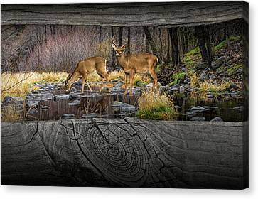 Looking Between The Fence Rails At Two White-tail Bucks Canvas Print by Randall Nyhof