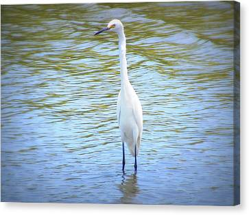 Looking For Lunch  Canvas Print by Mandy Shupp