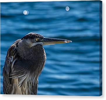 Sea Birds Canvas Print - Looking For Lunch by Marvin Spates