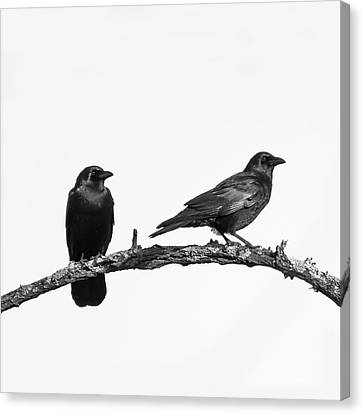 Looking Right Two Black Crows On White Square Canvas Print by Terry DeLuco