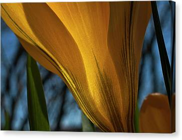Looking Up At A Yellow Crocus Canvas Print