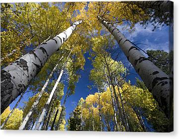 Looking Up At Autumn Aspens Canvas Print by Ed Book