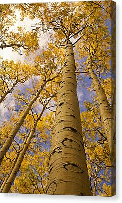 Looking Up At Towering Aspen Trees Canvas Print