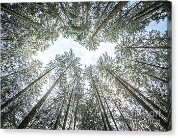 Canvas Print featuring the photograph Looking Up In The Forest by Hannes Cmarits