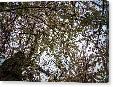 Looking Up Through The Cherry Blossoms Canvas Print by Chris Bordeleau