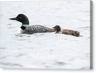 Loon And Chick Canvas Print by Cheryl Baxter