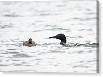 Loon Chick And Parent Canvas Print by Cheryl Baxter