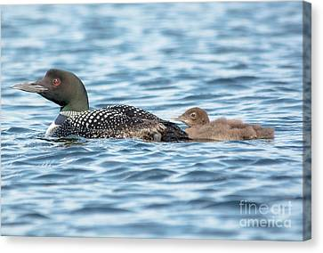 Loon Parent And Chick Canvas Print by Cheryl Baxter
